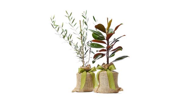 The Magnolia Company - Magnolia and Olive Trees